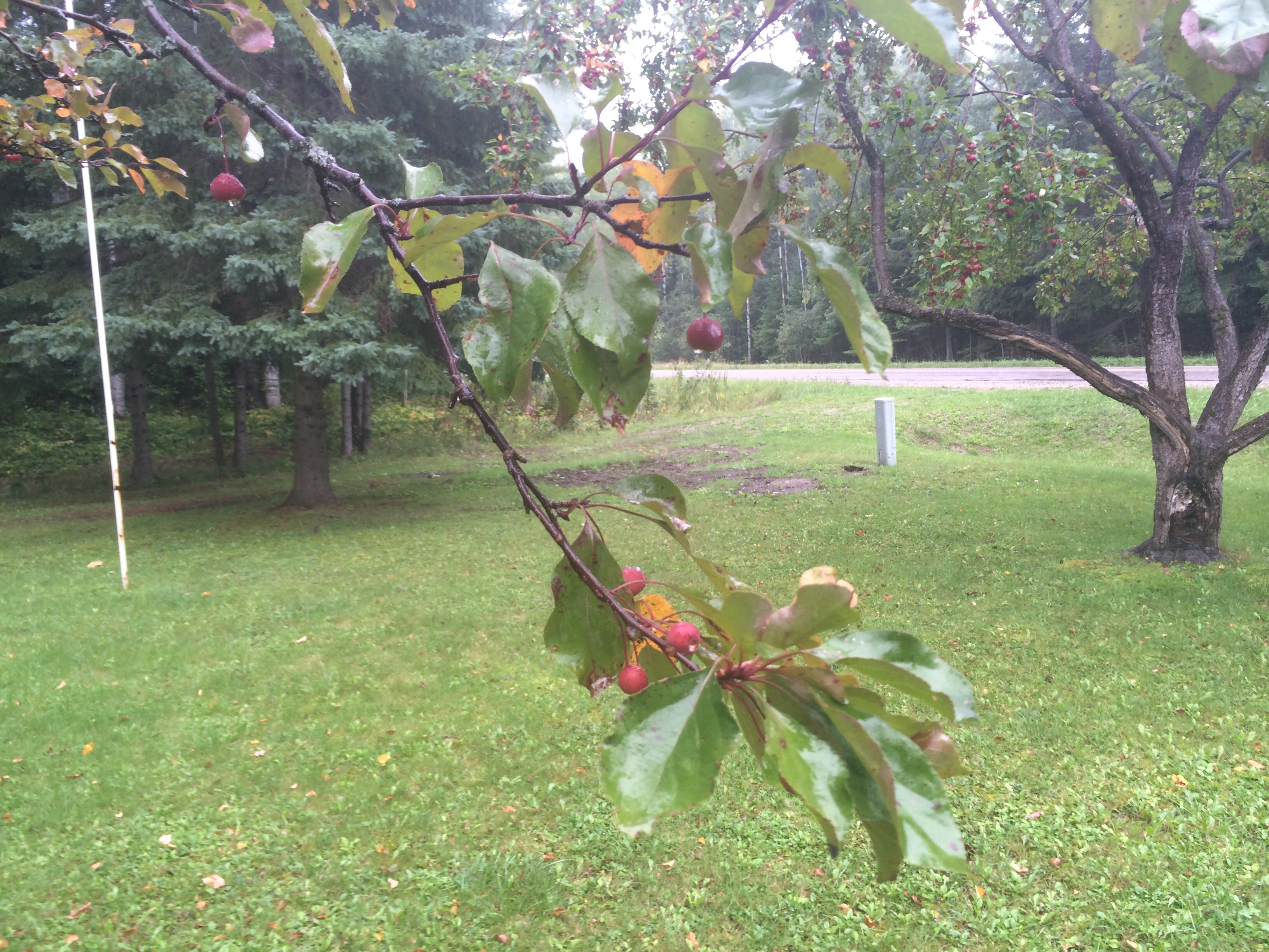 Why Is My Crab Apple Tree Losing Leaves 211758 Ask Extension