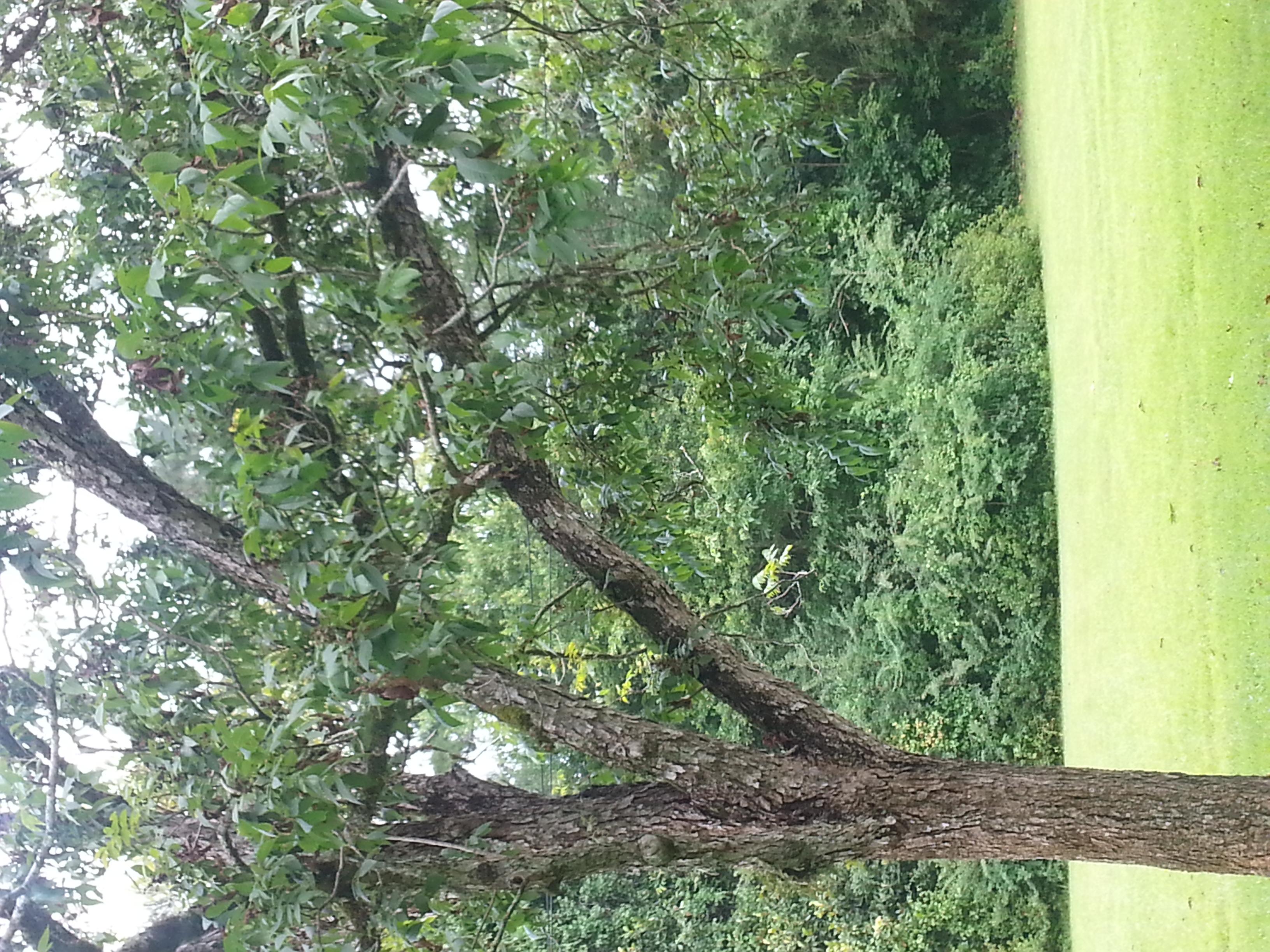 Pecan Tree In Poor Health 198575 Ask Extension