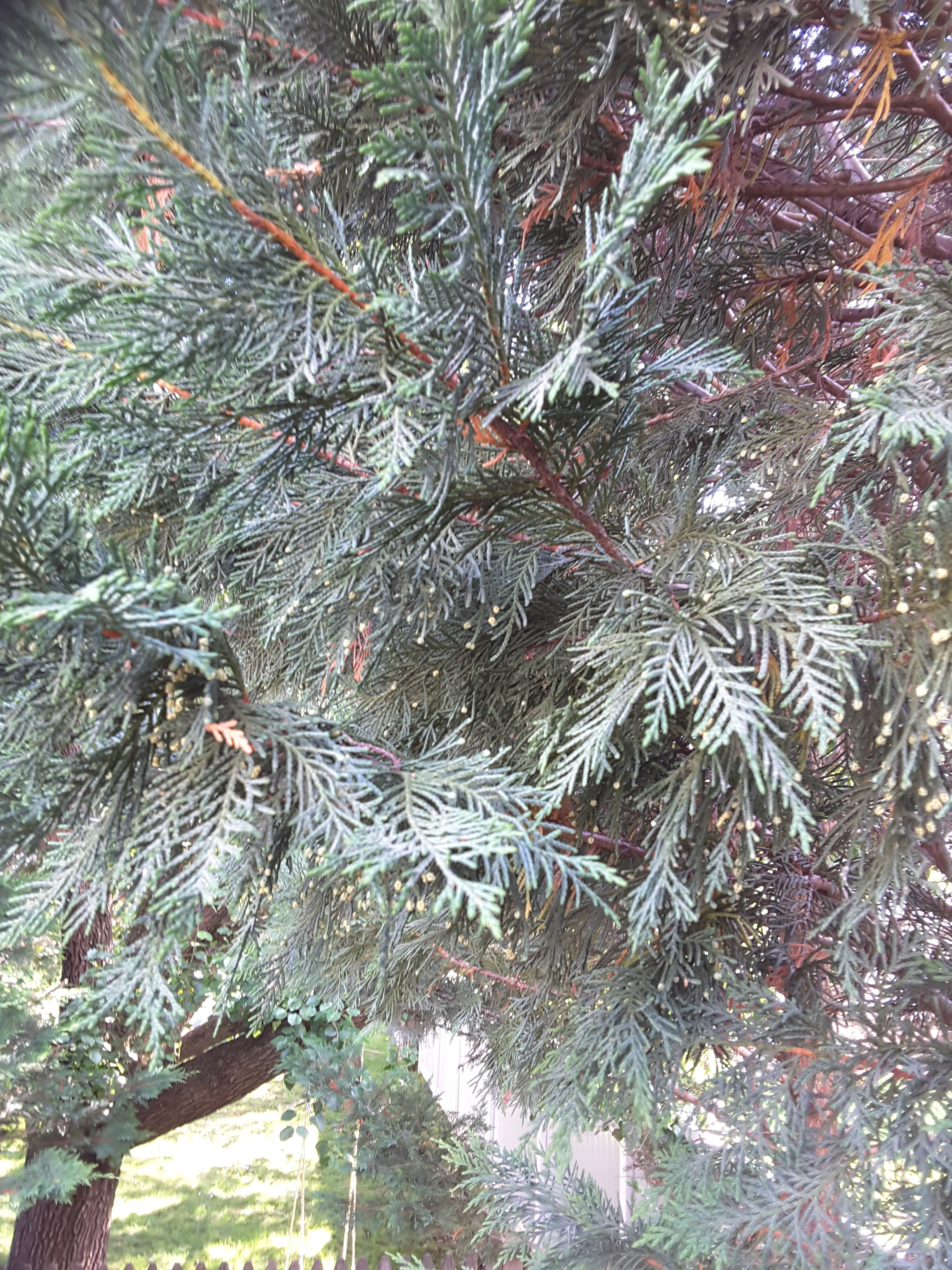 Leyland Cypress Balls 408888 Ask Extension