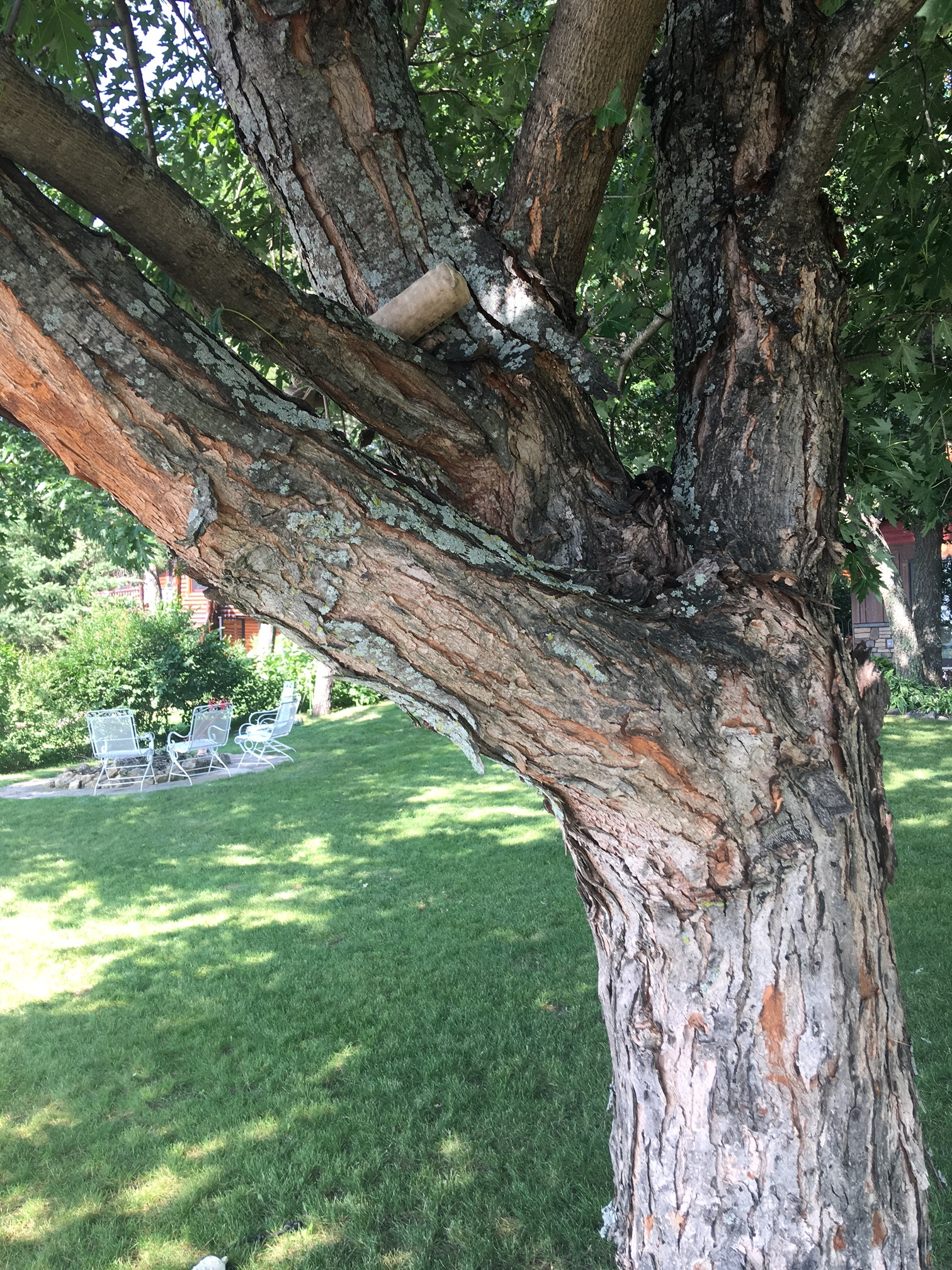 Why Is The Bark Split On A Maple Tree Youtube