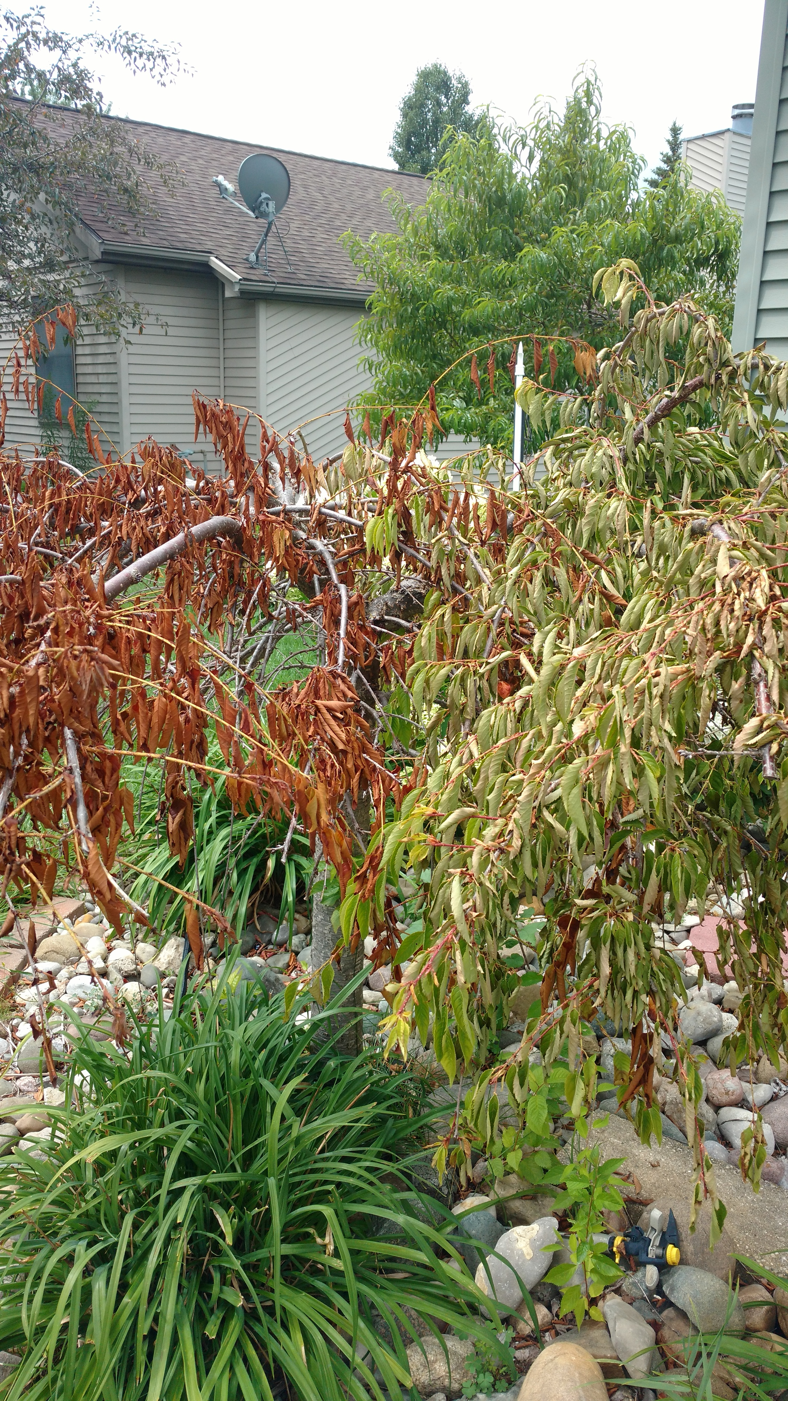 Weeping Cherry With Brown Curling Leaves 474718 Ask Extension