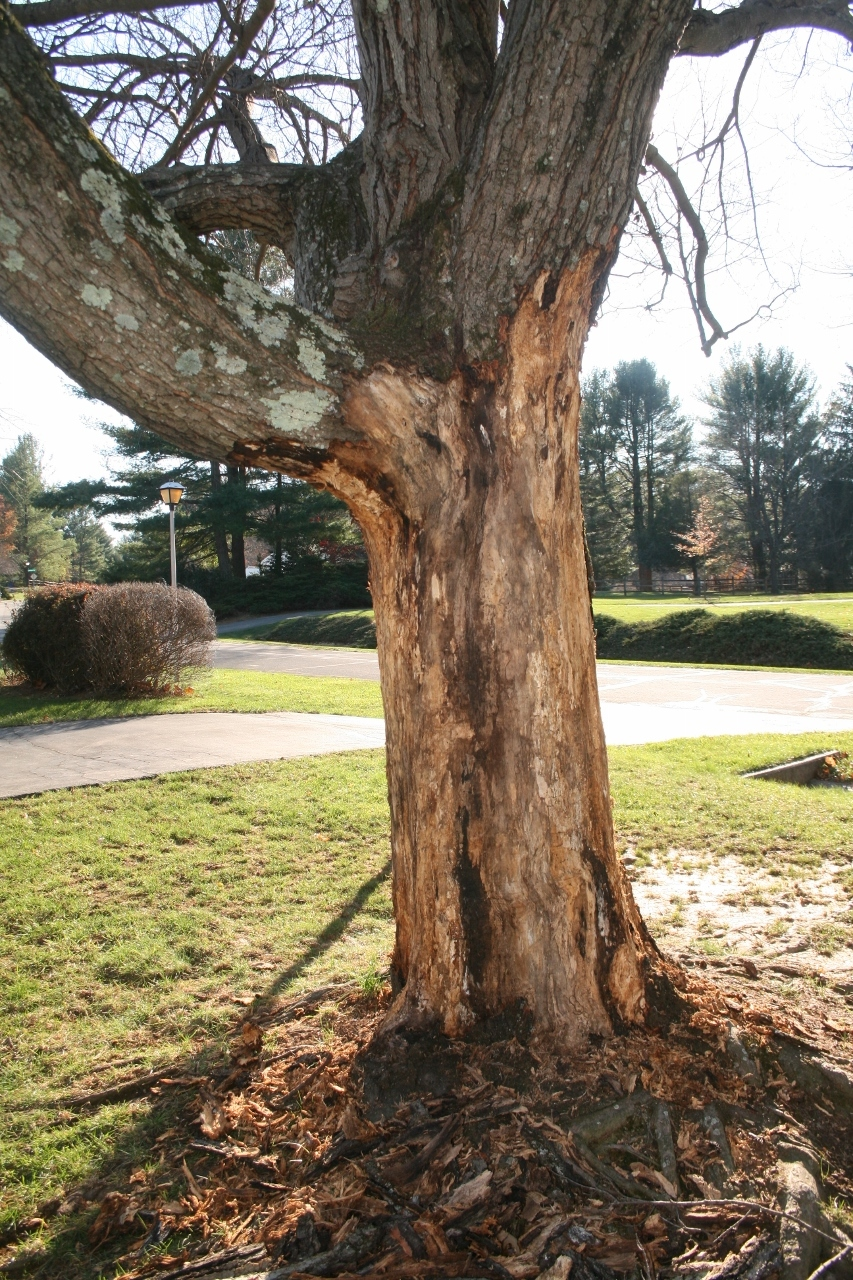 Red Maple Bark Falling Off 291472 Ask Extension