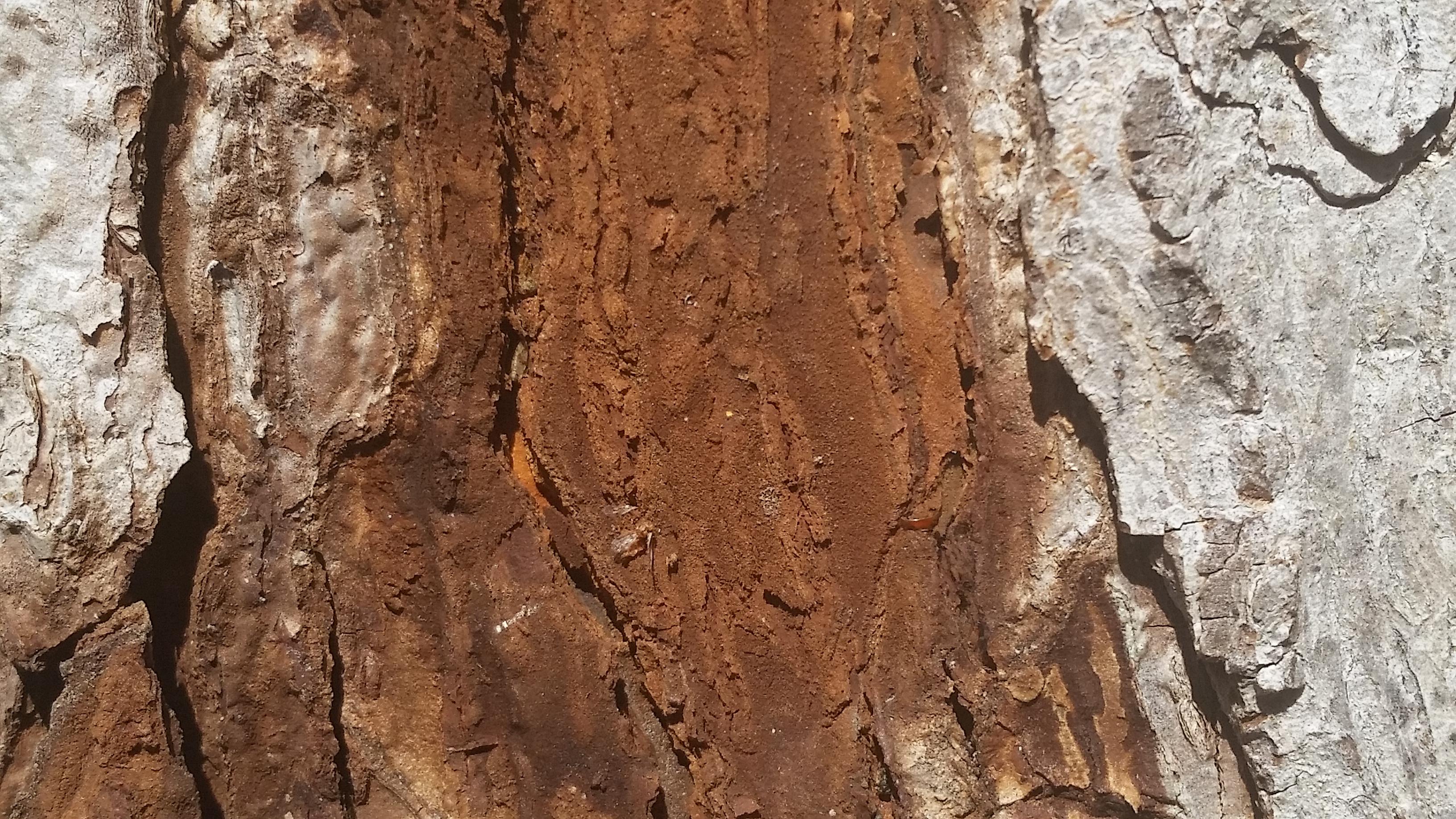 Pecan Bark Coming Off 222588 Ask Extension
