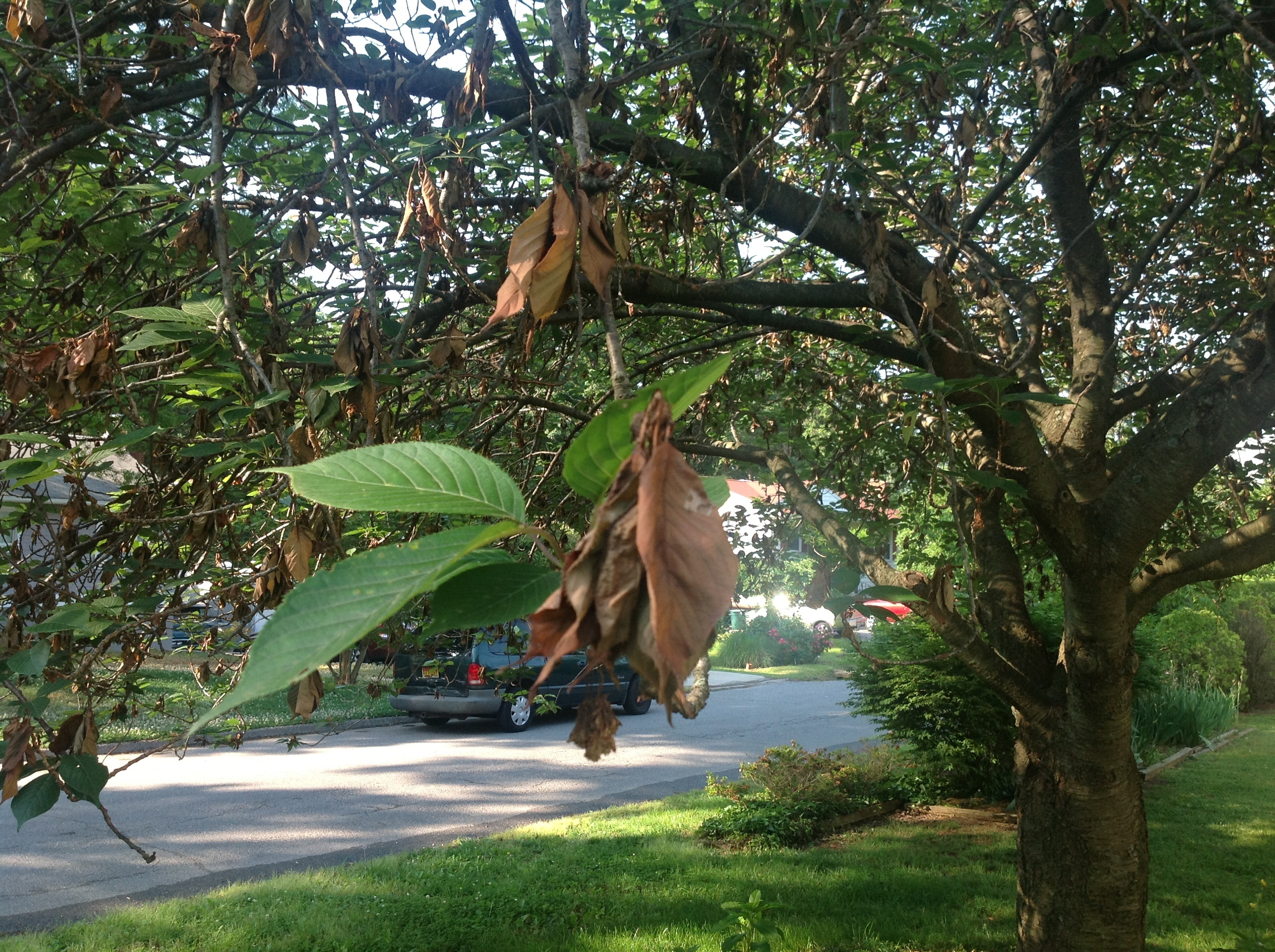 Kwanzan Cherry Tree With Possible Blight 130471 Ask Extension