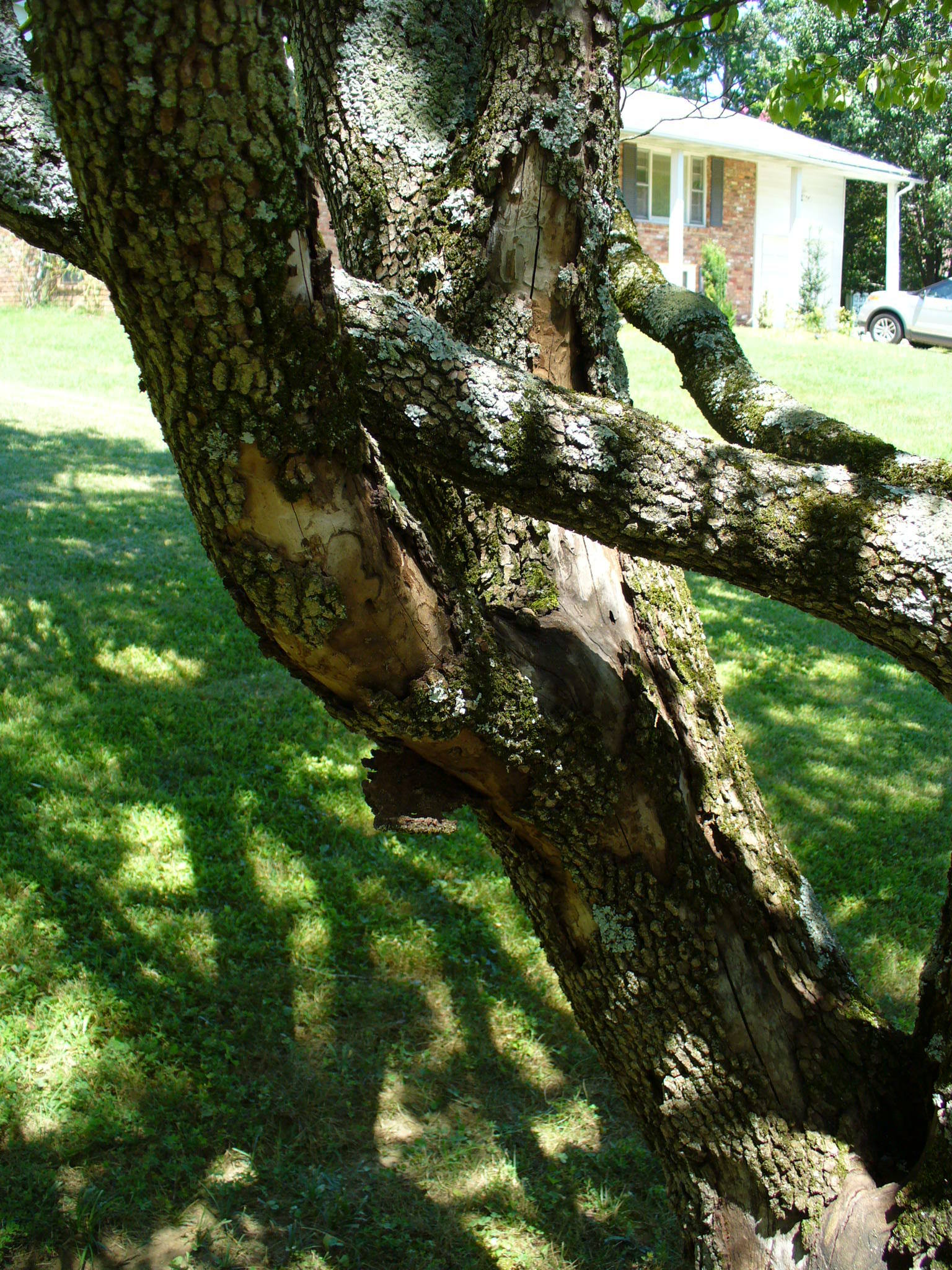 Bark Peeling From Dogwood Tree 264648 Ask Extension