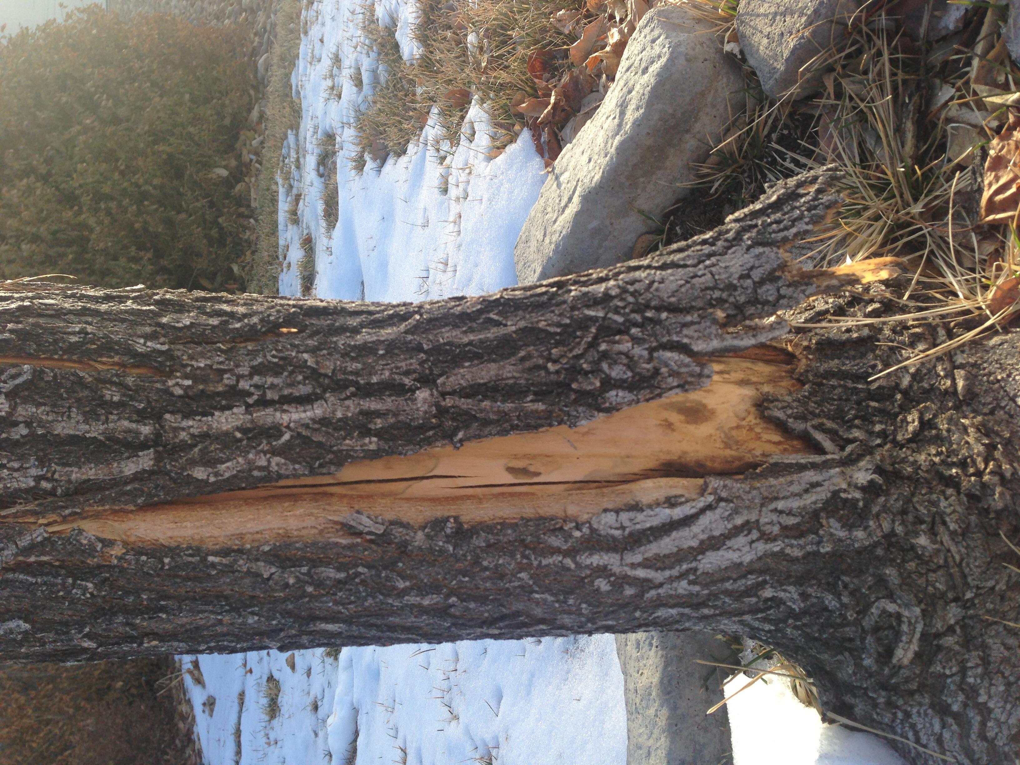 Peeling Bark On Maple 235796 Ask Extension