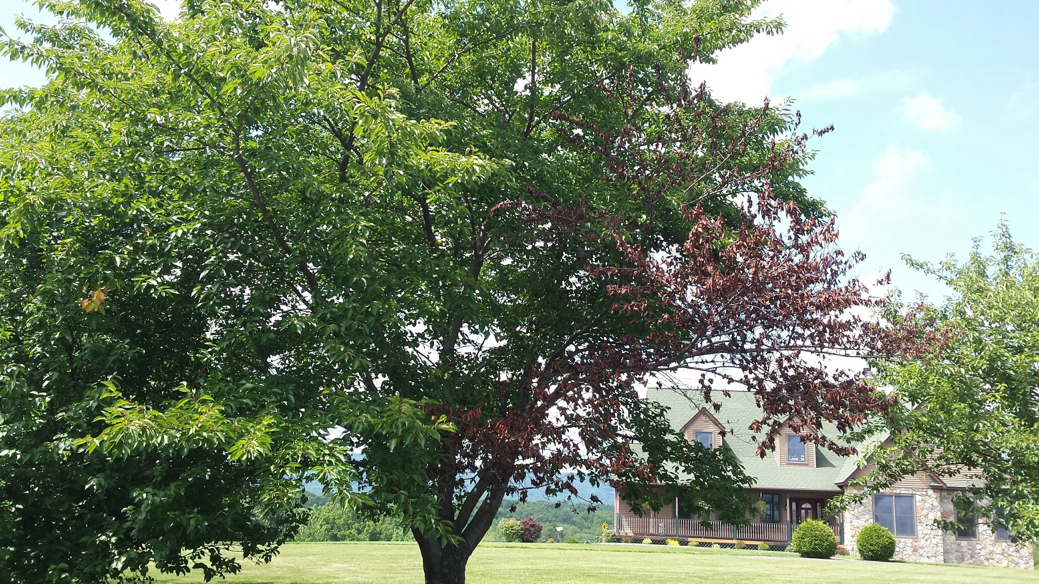 Kwanzan Cherry Tree 16yrs Old Has One Dying Limb 350647 Ask Extension