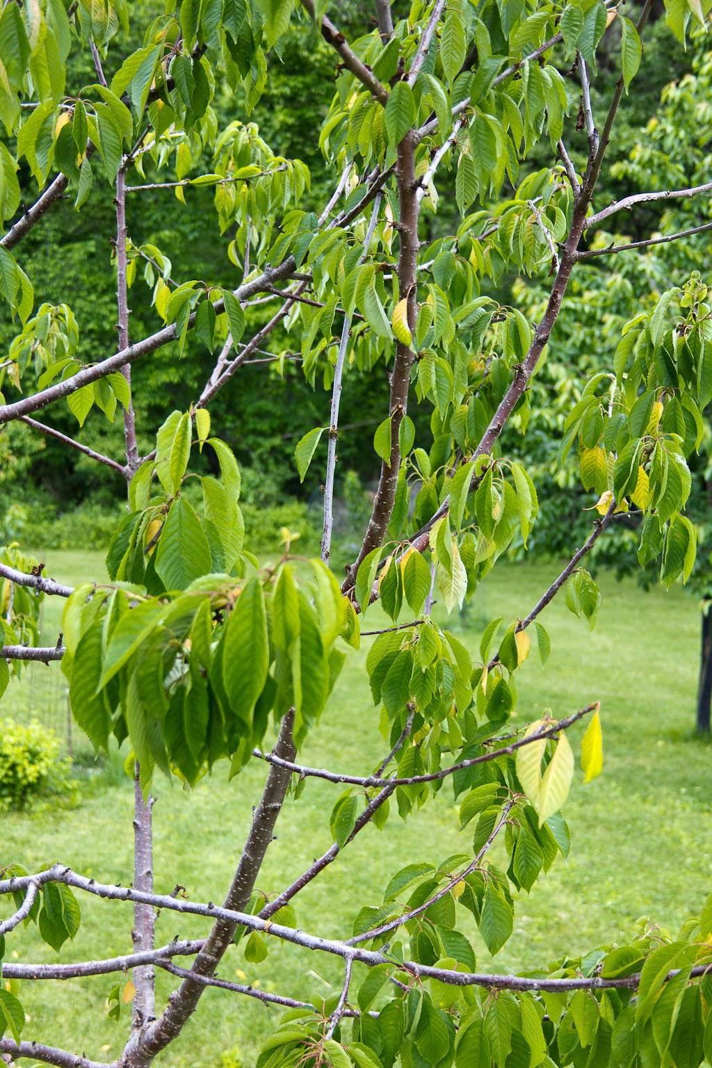 Is There Anything I Can Do For My Cherry Tree 249587 Ask Extension