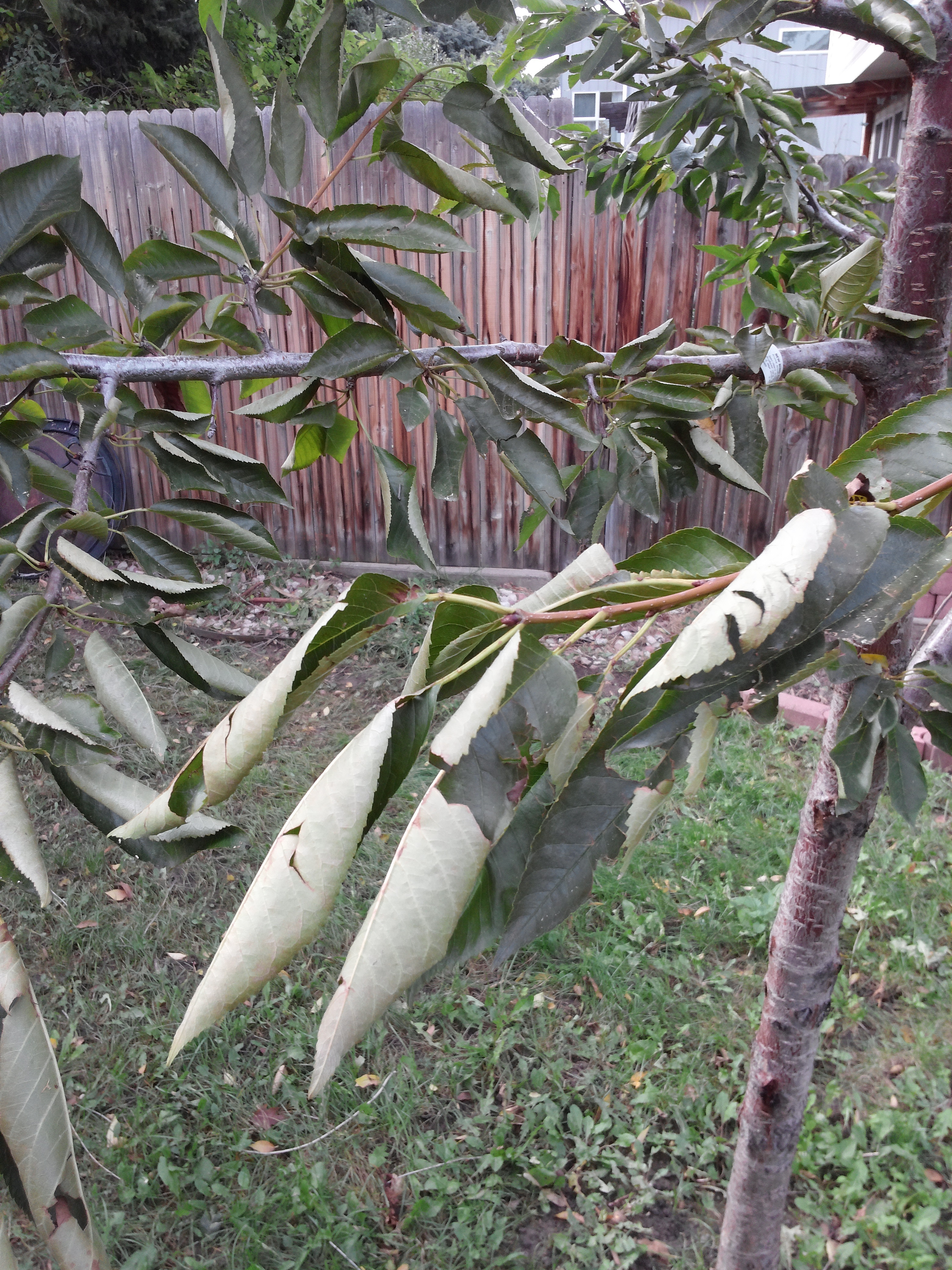 What Causes Cherry Tree Leaves To Curl