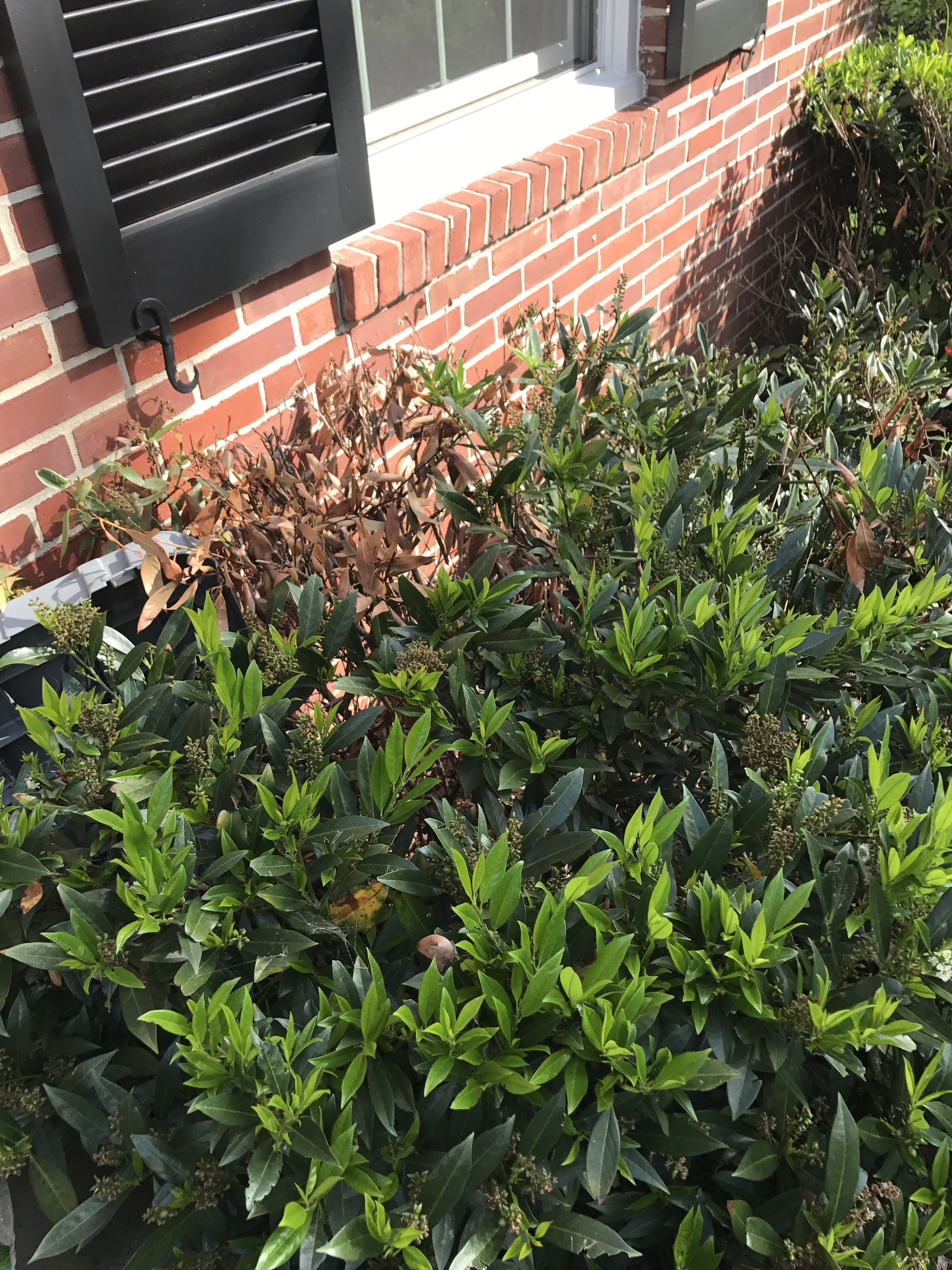 Something Is Killing My Cherry Laurel Bushes 398910 Ask Extension