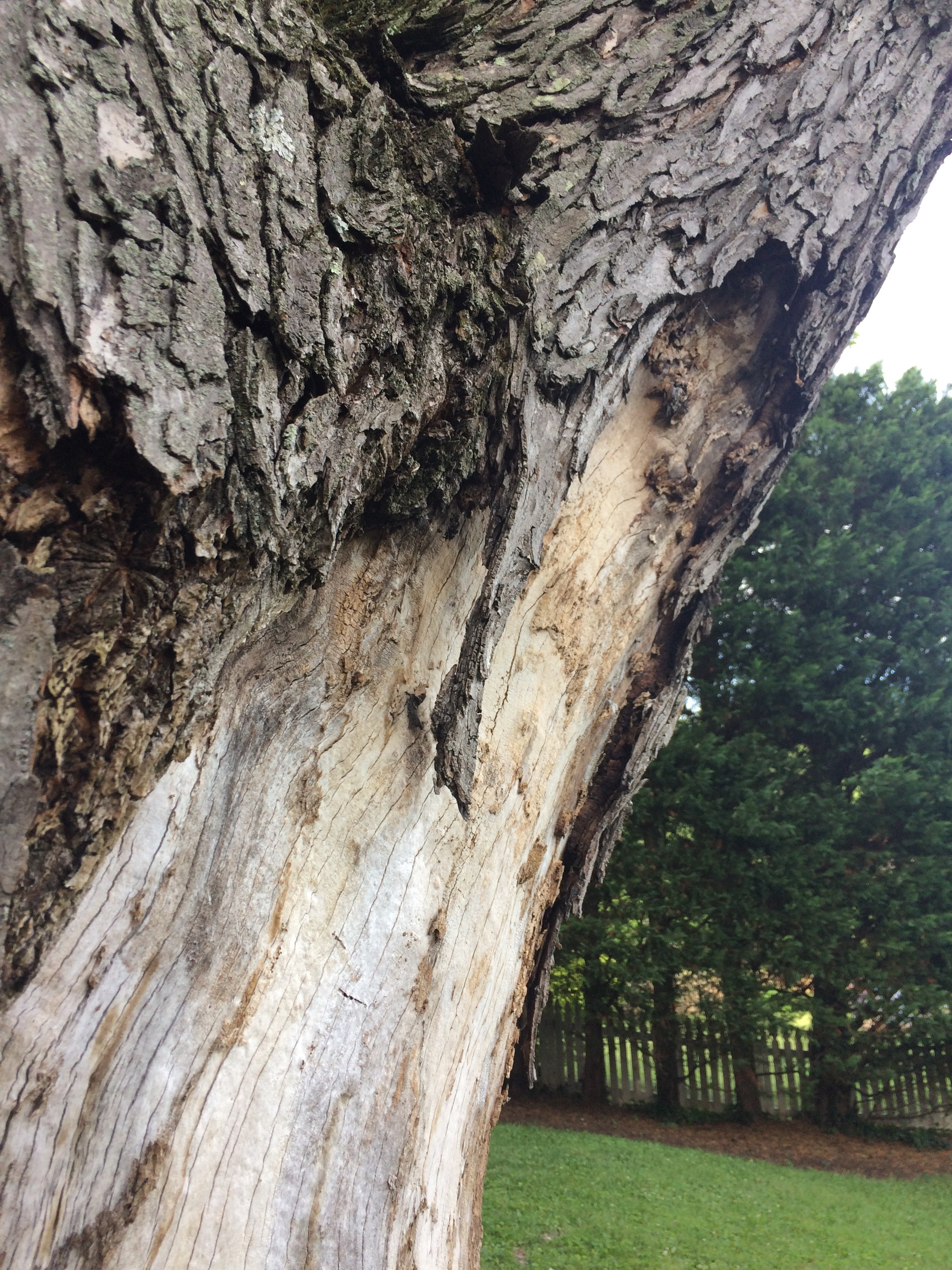 Maple Tree Losing Bark 410543 Ask Extension