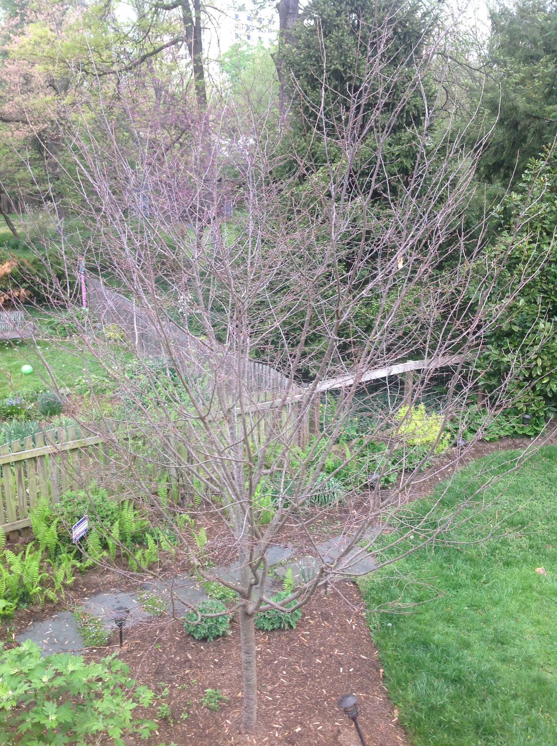 Cherry Tree Dead Or Playing Dead 315661 Ask Extension