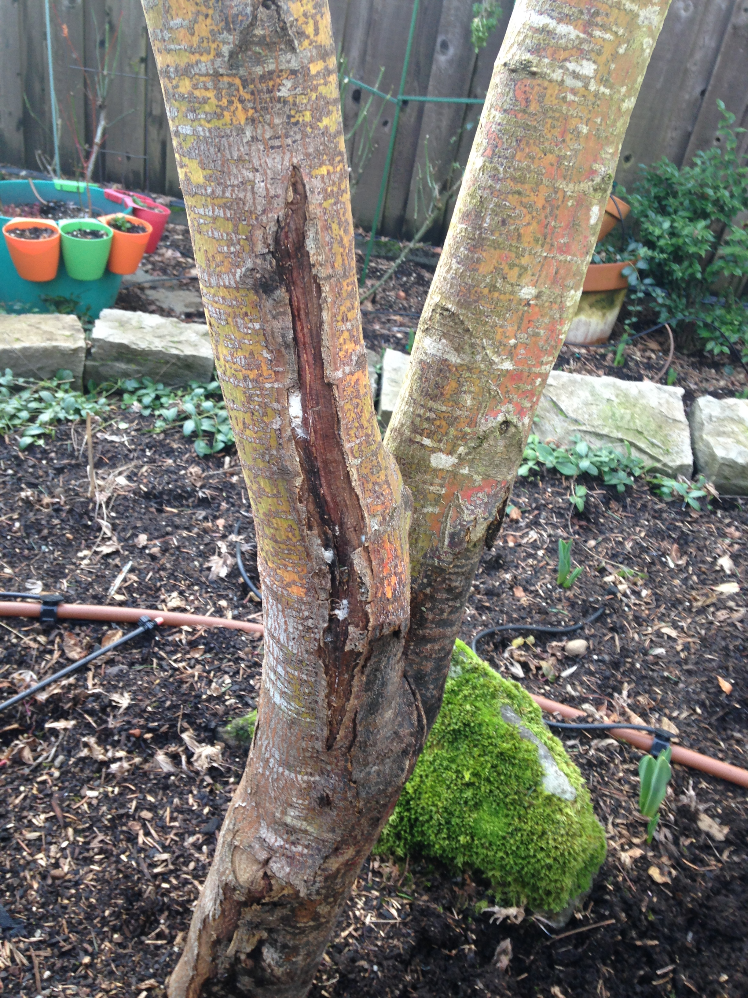 Problem On Bark Of Japanese Maple 439031 Ask Extension